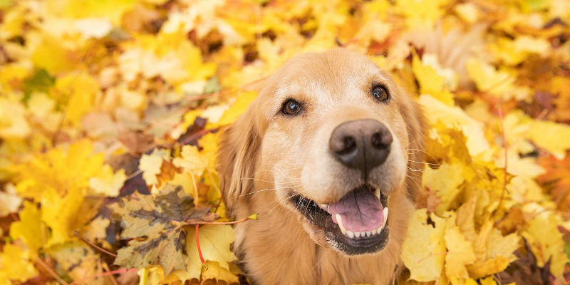 dog, leaf pile, gold leaves, fall toxins, fall pet toxins, autumn pet toxins, autumn pet safety, autumn pet hazards, pet health, pet safety, emergency vet, Minnesota emergency vet, Twin Cities emergency vet, Animal Emergency & Referral Center of Minnesota