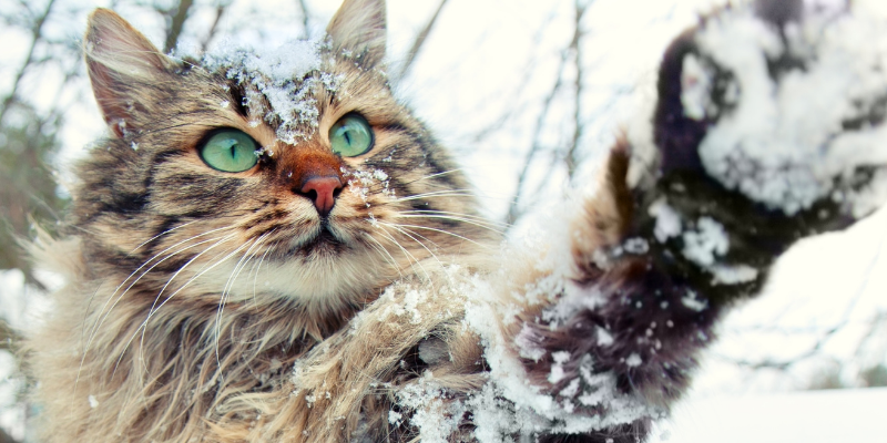 cat, snow, paws, winter weather, pets, pet safety, cold weather pet safety, Minnesota winter pet safety, winter pet tips, winter pet safety, emergency veterinarian, board-certified veterinary criticalist, Animal Emergency & Referral Center of Minnesota