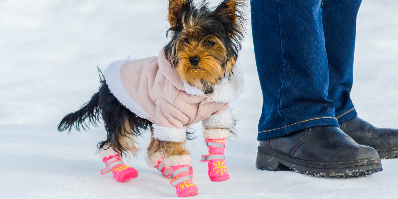 dog, coat, booties, winter weather, pets, pet safety, cold weather pet safety, Minnesota winter pet safety, winter pet tips, winter pet safety, emergency veterinarian, board-certified veterinary criticalist, Animal Emergency & Referral Center of Minnesota