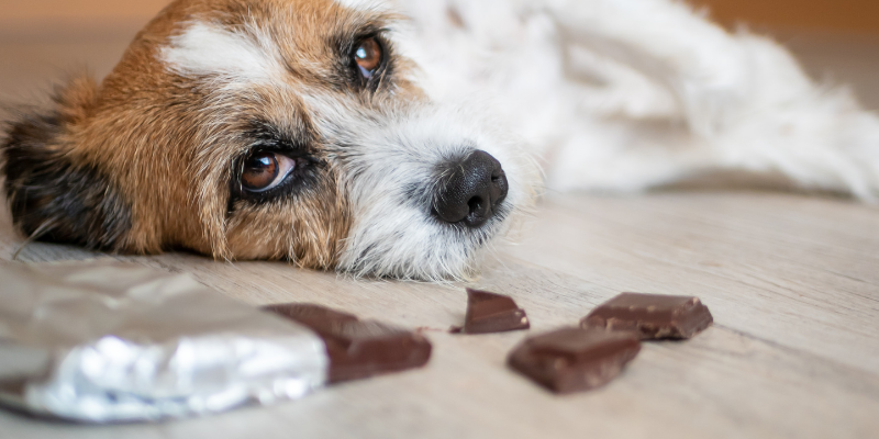 dog, chocolate pieces, chocolate toxicity, dog toxins, pet toxins, chocolate toxicity in dogs, Animal Emergency & Referral Center of Minnesota, Minnesota animal emergency hospital, Twin Cities emergency vet, pet health, pet safety, pet dangers