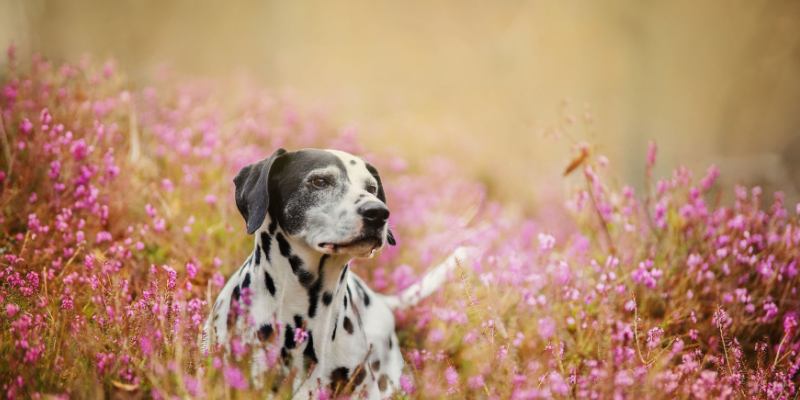 dog, spring, flowers, spring pet hazards, spring pet toxins, spring pet dangers, Animal Emergency & Referral Center of Minnesota, Saint Paul emergency vet, Twin Cities emergency vet, Oakdale emergency vet
