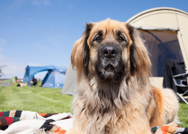 dog, lying down, tent, camping, hiking, pets, pet safety, what to pack for hiking with dogs, what to pack for camping with dogs, Chuck & Don's, camping with dogs, hiking with dogs, dog safety, Minnesota camping, Minnesota hiking, Animal Emergency & Referral Center of Minnesota, Minnesota emergency vet, Twin Cities emergency vet, Twin Cities animal emergency hospital