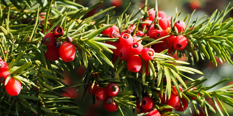 yew, toxic holiday plants, holiday pet toxins, holiday pet dangers, toxic plants, pet toxins, Animal Emergency & Referral Center of Minnesota