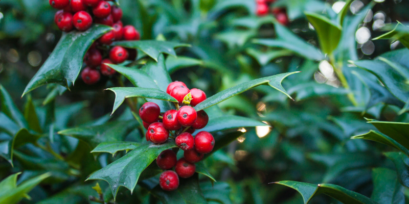 holly, toxic holiday plants, holiday pet toxins, holiday pet dangers, toxic plants, pet toxins, Animal Emergency & Referral Center of Minnesota