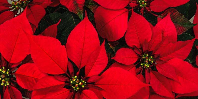 poinsettias,, toxic holiday plants, holiday pet toxins, holiday pet dangers, toxic plants, pet toxins, Animal Emergency & Referral Center of Minnesota