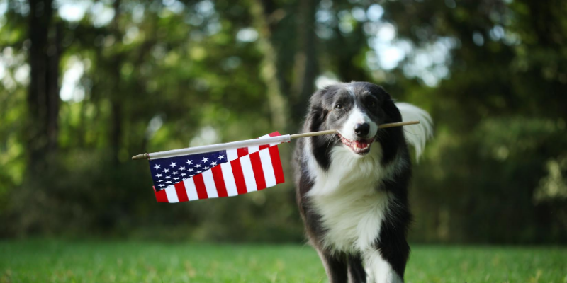 dog, flag, Labor Day weekend, Labor Day, Labor Day safety tips for pets, pet safety, pet health, Labor Day pet toxins, Labor Day pet hazards, Labor Day pet safety, veterinary, Animal Emergency & Referral Center of Minnesota, Twin Cities emergency vet, Saint Paul emergency vet, oakdale emergency vet