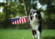 American flag, dog, running, grass, summer dogs, Labor Day weekend, Labor Day, Labor Day safety tips for pets, pet safety, pet health, Labor Day pet toxins, Labor Day pet hazards, Labor Day pet safety, veterinary, Animal Emergency & Referral Center of Minnesota, Twin Cities emergency vet, Saint Paul emergency vet, oakdale emergency vet