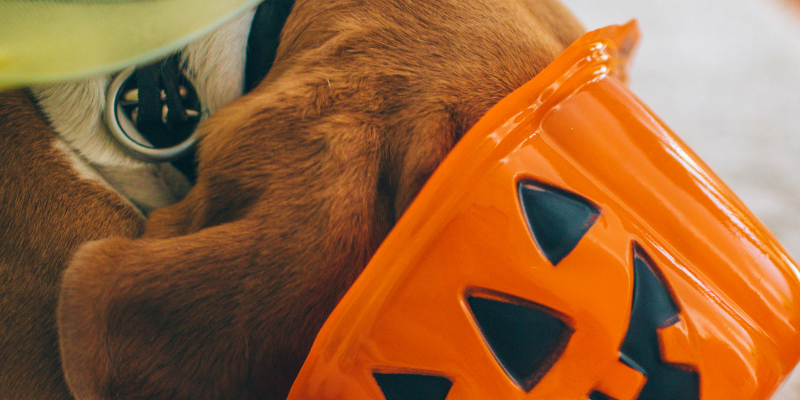 dog, head in candy bucket, candy stash, Halloween, Halloween candy, halloween candy stash, Halloween pets, Halloween pet safety, pet health, no candy for pets, Animal Emergency & Referral Center of Minnesota, Twin Cities emergency vet, Minnesota emergency vet, pet emergency