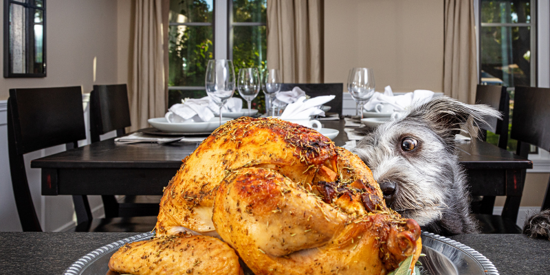 dog, turkey, Thanksgiving, Thanksgiving pet dangers, Thanksgiving pet hazards, Thanksgiving pet tips, pet owners, pet emergency, pets, veterinary, emergency vet, Twin Cities emergency vet, Minnesota, Animal Emergency & Referral Center of Minnesota, Twin Cities vet