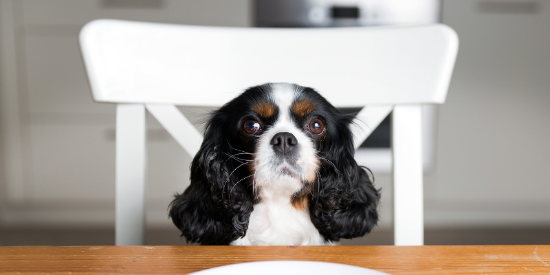 dog, sitting, table, chair, Thanksgiving, Thanksgiving pet dangers, Thanksgiving pet hazards, Thanksgiving pet tips, pet owners, pet emergency, pets, veterinary, emergency vet, Twin Cities emergency vet, Minnesota, Animal Emergency & Referral Center of Minnesota, Twin Cities vet