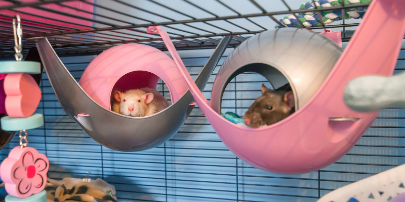 rats, rat cage, rat stimulation, pet rats, pets, pet health, happy pets, healthy pets, responsible pet owner months, responsible pet owners, Animal Emergency & Referral Center of Minnesota, er vet, emergency vet, Twin Cities emergency vet, St. Paul, Oakdale