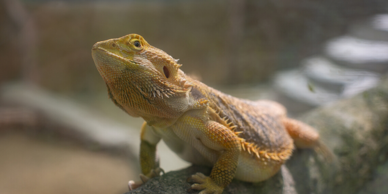 bearded dragon, pets, pet health, happy pets, healthy pets, responsible pet owner months, responsible pet owners, Animal Emergency & Referral Center of Minnesota, er vet, emergency vet, Twin Cities emergency vet, St. Paul, Oakdale