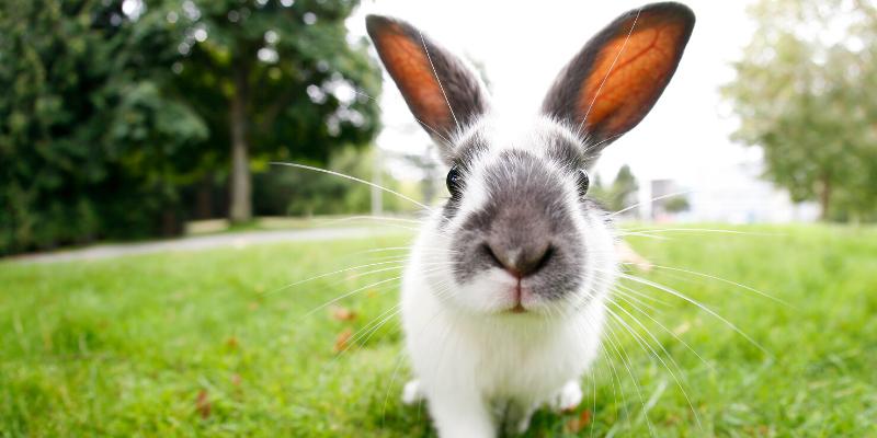 wild rabbit, field, Rabbit Hemorrhagic Disease Virus (RHDV), rabbits, rabbit owners, board-certified veterinarian, Animal Emergency & Referral Center of Minnesota, veterinary