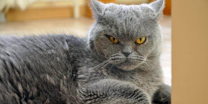 stressed cat, gray cat, grumpy cat, cats, cat health, cats peeing outside of litter box, litter box behavior, cat emergency, cat problems, Animal Emergency & Referral Center of Minnesota