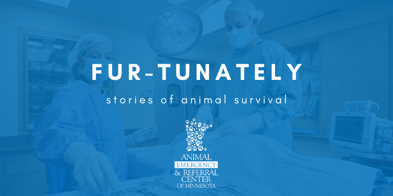 stories of animal survival, pet health, veterinary stories, veterinary ER stories, emergency vet, emergency veterinary clinic, emergency animal hospital, gunshot wound dog, dog health, critical care, AERC Critical Care, AERC Emergency Service, Animal Emergency & Referral Center of Minnesota, Fur-Tunately
