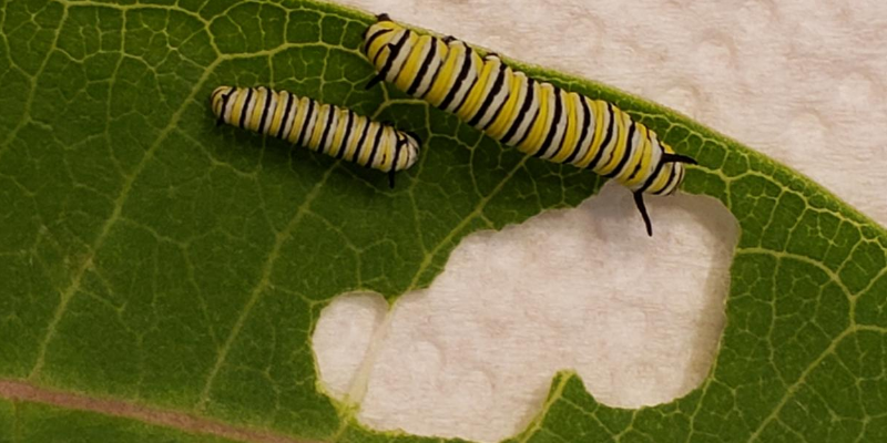 monarch, monarch caterpillars, raising monarchs, save monarch butterflies, Minnesota butterflies, Minnesota monarchs, Animal Emergency & Referral Center of Minnesota