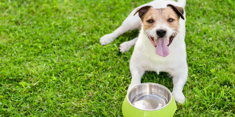 dog, panting, water dish, outside, heat safety, heat stroke, heat stress, heat exhaustion, pets, pet safety, summer safety for pets, emergency vet, er vet, heat stroke pets, heat stress pets, heat stroke dogs, heat kills, heat dangers, Animal Emergency & Referral Center of Minnesota