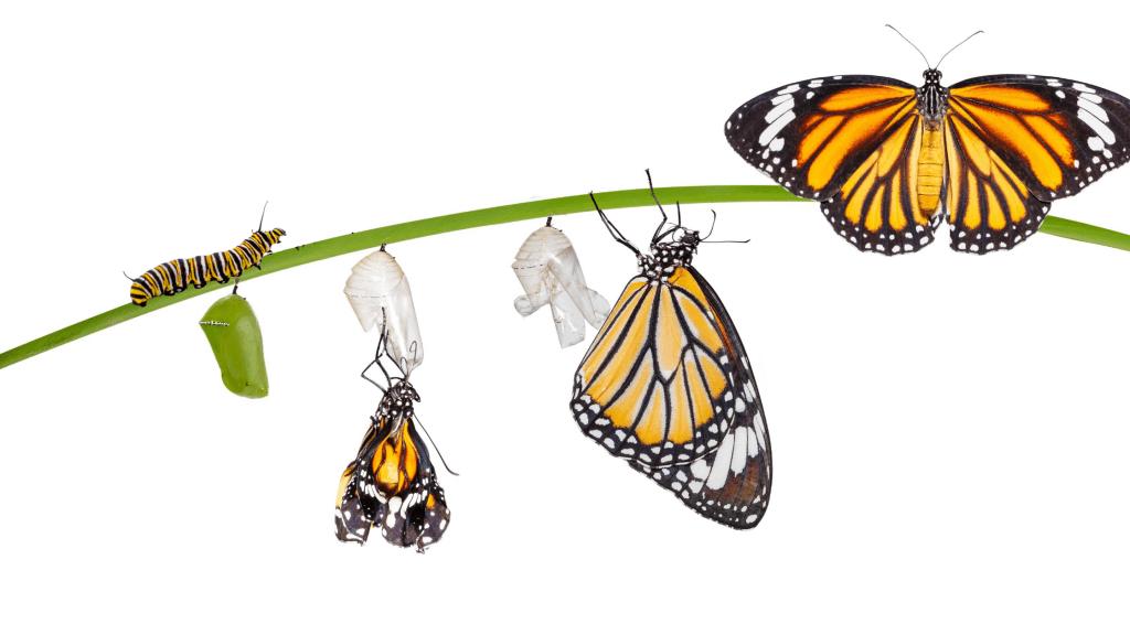 monarch, monarch caterpillars, raising monarchs, save monarch butterflies, Minnesota butterflies, Minnesota monarchs, Animal Emergency & Referral Center of Minnesota