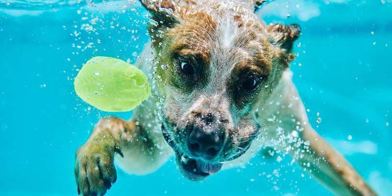 dog, underwater, ball, drinking water, swimming, swimming pool, backyard pool, dogs in pools, swimming dogs, dogs and water, swimming pool dangers for dogs, swimming pool dangers for pets, pet owners, swimming pool pet safety, swimming pool pet tips, Animal Emergency & Referral Center of Minnesota, Twin Cities emergency vet, Minnesota emergency vet