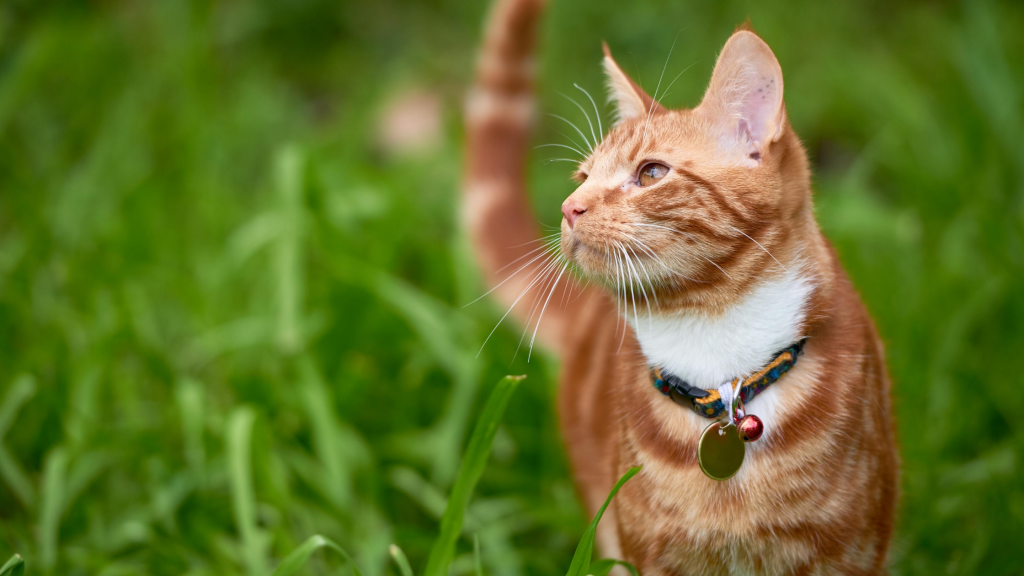 cat, grass, collar, ID tags, bell, cats, cat collars, breakaway collars, cat bell, indoor cats, outdoor cats, cat owners, cat safety tips, Animal Emergency & Referral Center of Minnesota, Minnesota emergency vet, Twin Cities animal emergency hospital