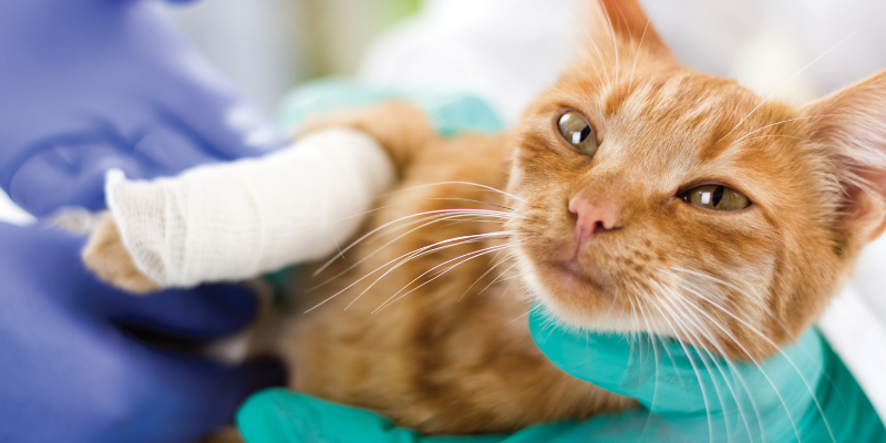injured cat, veterinary care, cats, cat health, cat emergency, emergency vet, Minnesota emergency cat vet, Twin Cities emergency vet, Animal Emergency & Referral Center of Minnesota