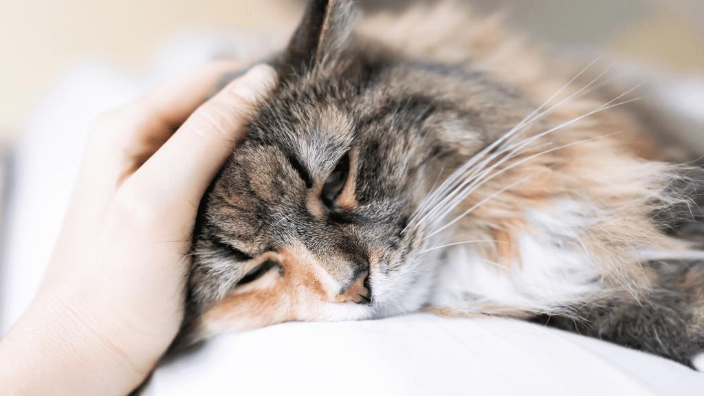 sick cat, lying down, cats, cat health, cat emergency, emergency vet, Minnesota emergency cat vet, Twin Cities emergency vet, Animal Emergency & Referral Center of Minnesota
