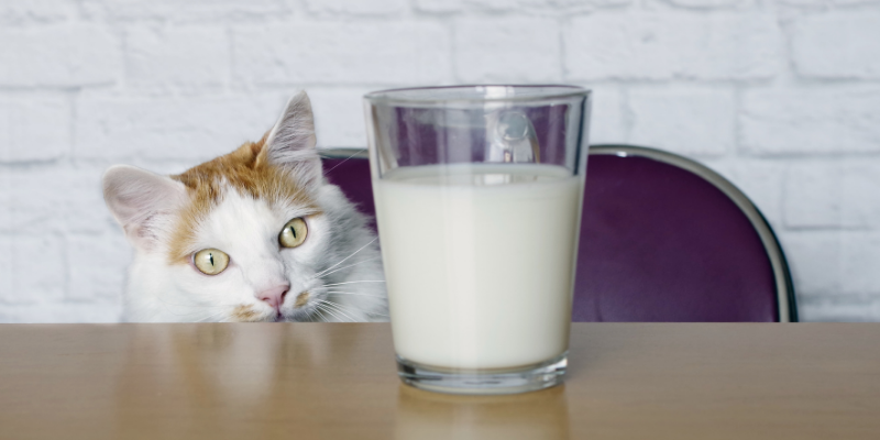 cat, milk, milk glass, pets, dairy products, can my pet eat dairy, cats, dogs, dairy, can my pet eat yogurt, can my pet eat cheese, can my pet drink milk, can my pet eat butter, can my pet eat ice cream, pet health, veterinary, Animal Emergency & Referral Center of Minnesota