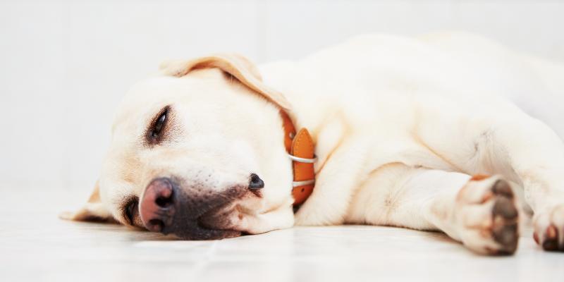 sick dog, sick lab, lying down, pancreas, pancreatitis, pancreatitis in pets, pancreatitis in dogs, veterinary, pet health, veterinary medicine, Animal Emergency & Referral Center of Minnesota, veterinary care, emergency veterinarian