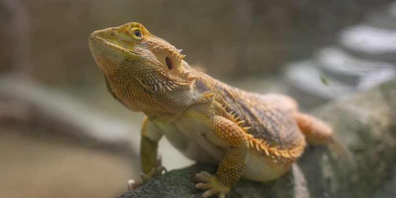 bearded dragon, exotic pets, small companion animals, how to tell if exotic pet is sick, board-certified vet, Avian and Exotic Medicine, Animal Emergency & Referral Center of Minnesota, exotic pets veterinarian, Minnesota veterinary referral center, Twin Cities veterinary referral center