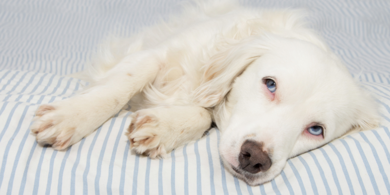 dog, lying down, sick dog, dog emergency, common dog emergencies, pet health, dog health, dog owners, emergency vet, animal emergency hospital, Animal Emergency & Referral Center of Minnesota, when to bring dog to ER, Minnesota emergency vet, Twin Cities emergency vet, Oakdale emergency vet
