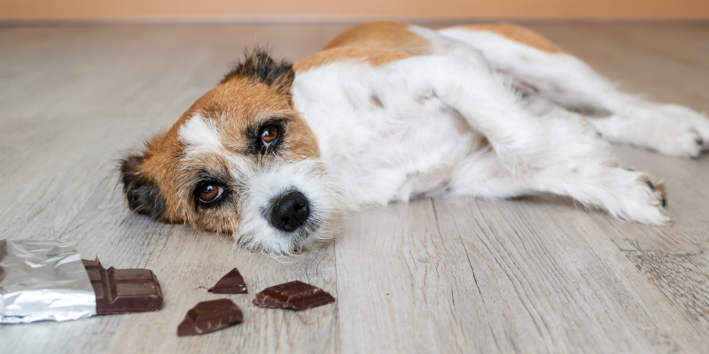 dog, chocolate, toxicity, dog emergency, common dog emergencies, pet health, dog health, dog owners, emergency vet, animal emergency hospital, Animal Emergency & Referral Center of Minnesota, when to bring dog to ER, Minnesota emergency vet, Twin Cities emergency vet, Oakdale emergency vet