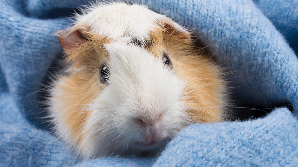 guinea pigs, hamsters, small pets, exotic pets, small companion animals, how to tell if exotic pet is sick, board-certified vet, Avian and Exotic Medicine, Animal Emergency & Referral Center of Minnesota, exotic pets veterinarian, Minnesota veterinary referral center, Twin Cities veterinary referral center