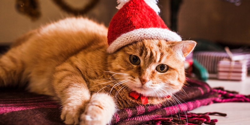 cat, santa hat, lying down, holiday pet dangers, holiday pet toxins, Christmas pet dangers, Christmas pet toxins, pet health, pet dangers, pet toxins, Christmas pet safety, holiday pet safety, Animal Emergency & Referral Center of Minnesota, emergency vet, Twin Cities emergency vet, Minnesota emergency vet