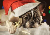 sad dog, Santa hat, Christmas lights, lying down, pet loss, pet grief, holiday grief, holidays, pet parents, Animal Emergency & Referral Center of Minnesota, Human Animal Bond