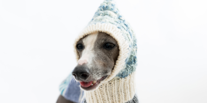 Greyhound, hat, scarf, dogs, winter weather, winter clothing for dogs, dog clothing, dog winter clothing, dog winter boots, dog winter coats, clothing guide for dogs, Minnesota winter, winter dogs, Animal Emergency & Referral Center of Minnesota, Twin Cities emergency vet, Minnesota emergency vet, frostbite, hypothermia, cold weather safety for dogs, pet safety, pet health