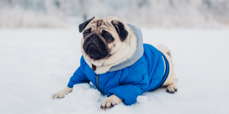 pug, winter jacket, dog jacket, dogs, winter weather, winter clothing for dogs, dog clothing, dog winter clothing, dog winter boots, dog winter coats, clothing guide for dogs, Minnesota winter, winter dogs, Animal Emergency & Referral Center of Minnesota, Twin Cities emergency vet, Minnesota emergency vet, frostbite, hypothermia, cold weather safety for dogs, pet safety, pet health