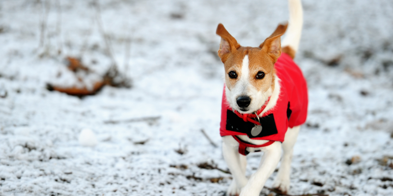 dog, running, snow, winter jacket, dogs, winter weather, winter clothing for dogs, dog clothing, dog winter clothing, dog winter boots, dog winter coats, clothing guide for dogs, Minnesota winter, winter dogs, Animal Emergency & Referral Center of Minnesota, Twin Cities emergency vet, Minnesota emergency vet, frostbite, hypothermia, cold weather safety for dogs, pet safety, pet health