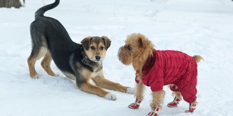 snow, winter, dog, jacket, boots, dogs, winter weather, winter clothing for dogs, dog clothing, dog winter clothing, dog winter boots, dog winter coats, clothing guide for dogs, Minnesota winter, winter dogs, Animal Emergency & Referral Center of Minnesota, Twin Cities emergency vet, Minnesota emergency vet, frostbite, hypothermia, cold weather safety for dogs, pet safety, pet health