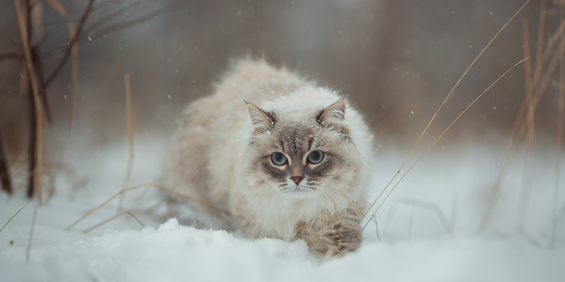 cat, snow, walking, winter, pet health, pet safety, frostbite, hypothermia, hypothermia in pets, hypothermia in cats, hypothermia in dogs, winter pets, winter pet safety, Animal Emergency & Referral Center of Minnesota, er vet, Twin Cities emergency vet, Saint Paul emergency vet, Oakdale emergency vet