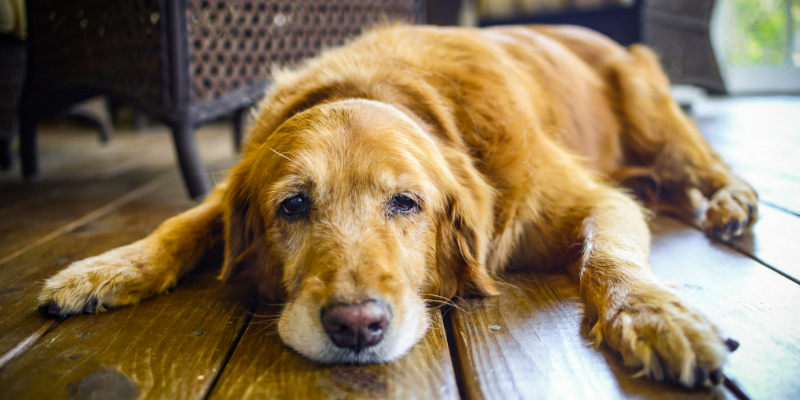 dog, senior dog, lying down, ill dog, pet euthanasia, when to say goodbye, euthanasia process for pets, pet parents, pet owners, pet health, pet quality of life, veterinary final care, Animal Emergency & Referral Center of Minnesota
