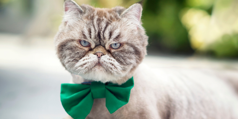 cat, green bow tie, St. Patrick's Day, St. Paddy's Day, St. Patrick's Day pet dangers, pet health, pet dangers, holiday pet dangers, emergency vet, Minnesota emergency vet, Twin Cities emergency vet, Animal Emergency & Referral Center of Minnesota