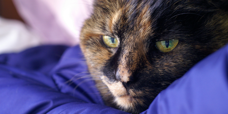 cat, senior cat, sick cat, pet euthanasia, when to say goodbye, euthanasia process for pets, pet parents, pet owners, pet health, pet quality of life, veterinary final care, Animal Emergency & Referral Center of Minnesota
