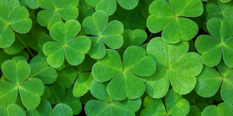 shamrocks, shamrock toxicity, St. Patrick's Day, St. Paddy's Day, St. Patrick's Day pet dangers, pet health, pet dangers, holiday pet dangers, emergency vet, Minnesota emergency vet, Twin Cities emergency vet, Animal Emergency & Referral Center of Minnesota