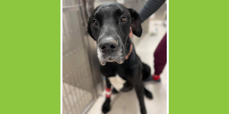 Great Dane, medical emergency, Popeye's Arm, Double Bubble, GDV, Gastric Dilatation and Volvulus, flipped stomach, twisted stomach, Fur-Tunately: Stories of Animal Survival, animal emergency, dog emergency, Animal Emergency & Referral Center of Minnesota, Twin Cities emergency vet, St. Paul emergency vet