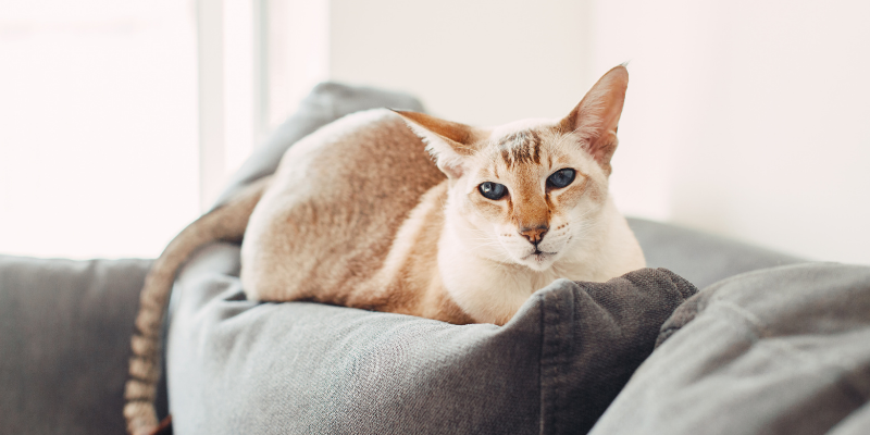 cat, sitting on couch, household pet toxins, household pet dangers, household pet hazards, common pet toxins, common pet hazards, Animal Emergency & Referral Center of Minnesota, Twin Cities emergency vet, Saint Paul emergency vet, Oakdale emergency vet, Minnesota emergency vet, pet owners, pet parents