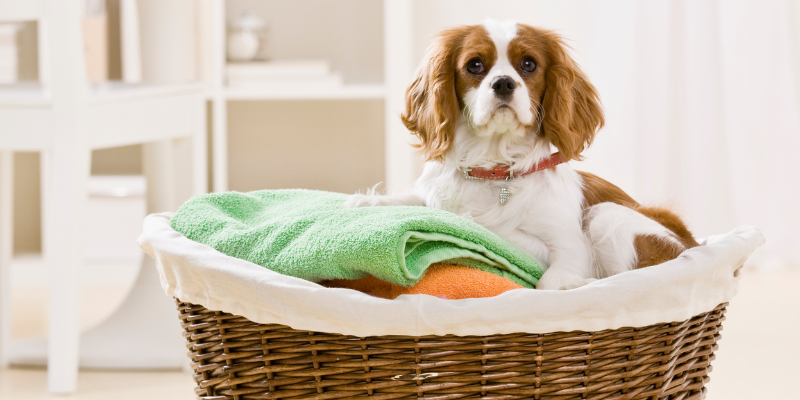 dog, laundry basket, household pet toxins, household pet dangers, household pet hazards, common pet toxins, common pet hazards, Animal Emergency & Referral Center of Minnesota, Twin Cities emergency vet, Saint Paul emergency vet, Oakdale emergency vet, Minnesota emergency vet, pet owners, pet parents