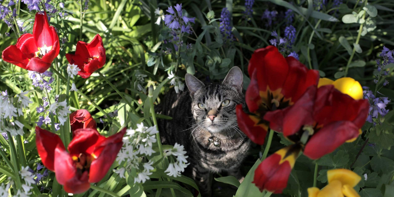 cat, flowers, gardening safety for pet owners, gardening toxins for pets, pet toxins, pet toxins in the garden, pet hazards in the garden, garden safety for pets, Animal Emergency & Referral Center of Minnesota, Twin Cities emergency vet, Oakdale emergency vet, St. Paul emergency vet, spring pet toxins, spring pet hazards