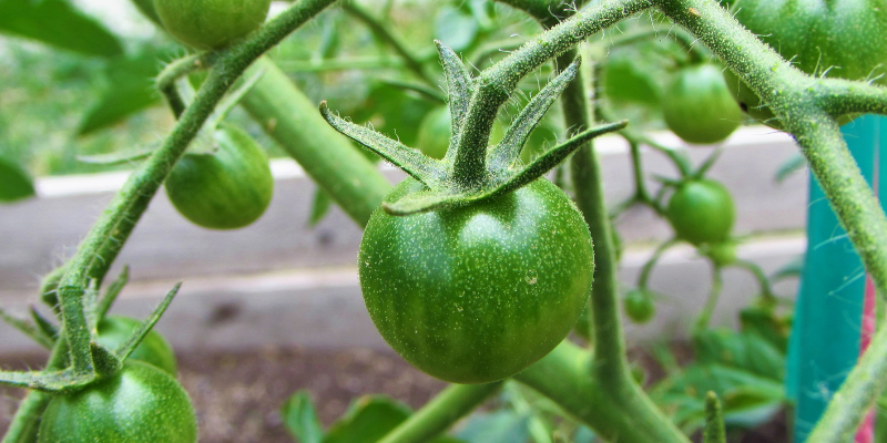 unripe tomatoes, vegetable garden, gardening safety for pet owners, gardening toxins for pets, pet toxins, pet toxins in the garden, pet hazards in the garden, garden safety for pets, Animal Emergency & Referral Center of Minnesota, Twin Cities emergency vet, Oakdale emergency vet, St. Paul emergency vet, spring pet toxins, spring pet hazards