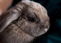 rabbit, head tilts, head tilts in rabbits, head tilts in rodents, pet health, small companion animals, exotic pets, rabbits, rodents, Animal Emergency & Referral Center of Minnesota, Avian and Exotic Medicine Service, Twin Cities veterinary referral center